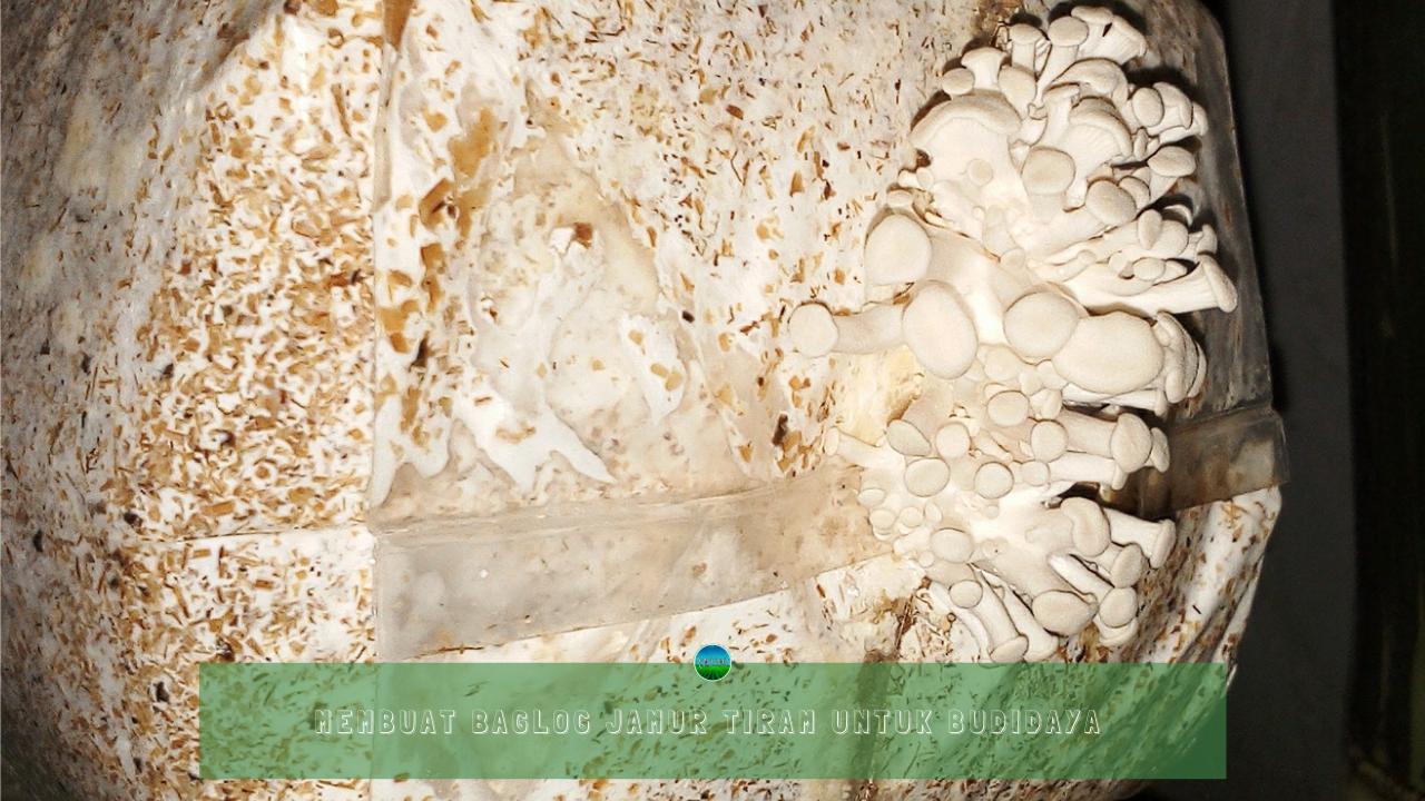 Membuat Baglog Jamur Tiram Untuk Budidaya