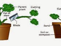 Teknik Menanam Sayuran Dengan Cara Memotong Batang Sayuran