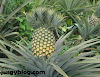 Commercial Pineapple farming in Nigeria: step by step guide