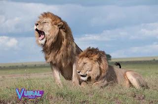 Contoh Hewan Vivipar Singa