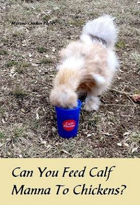 Calf manna feed, chickens