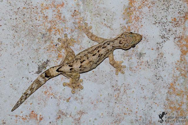 Turnip-tail Gecko - Thecadactylus rapicauda