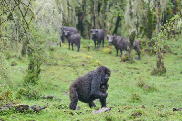 THE LEADING SILVERBACK IN VOLCANOES NATIONAL PARK GOES MISSING