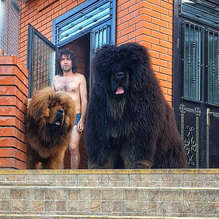 Tibetan mastiff size | The male specimens are high at the withers at least 66 cm and can weigh between 40 and 68 kg, while the females reach 62 cm in height for a weight that can go between 30 and 54 kg.