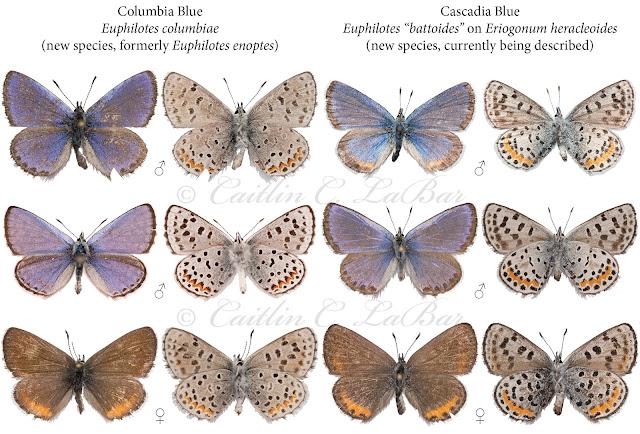 Northwest Butterflies: 2015