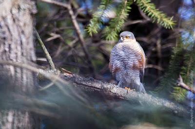 Ястреб перепелятник. Accipiter nisus. Sparrowhawk.