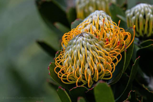 Blooming Pincushion Protea Flower Kirstenbosch National Botanical Garden Cape Town Vernon Chalmers Photography