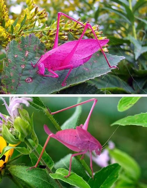 حشرة  ذات لون زهري