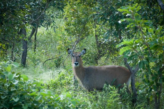 Waterbuck, Mole National Park, Ghana