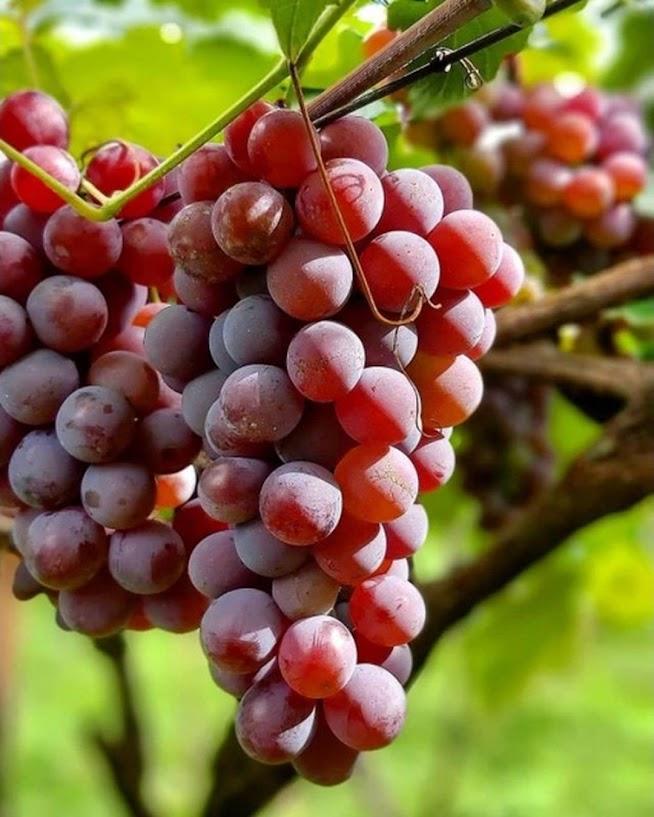 Bibit anggur berbunga Sawahlunto
