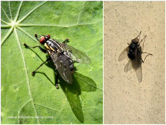 Moscón y mosca - Chacra Educativa Santa Lucía