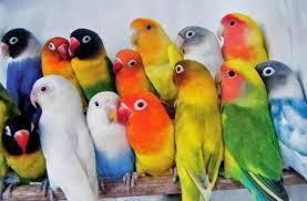 Daftar Lengkap Harga Burung Lovebird Terbaru