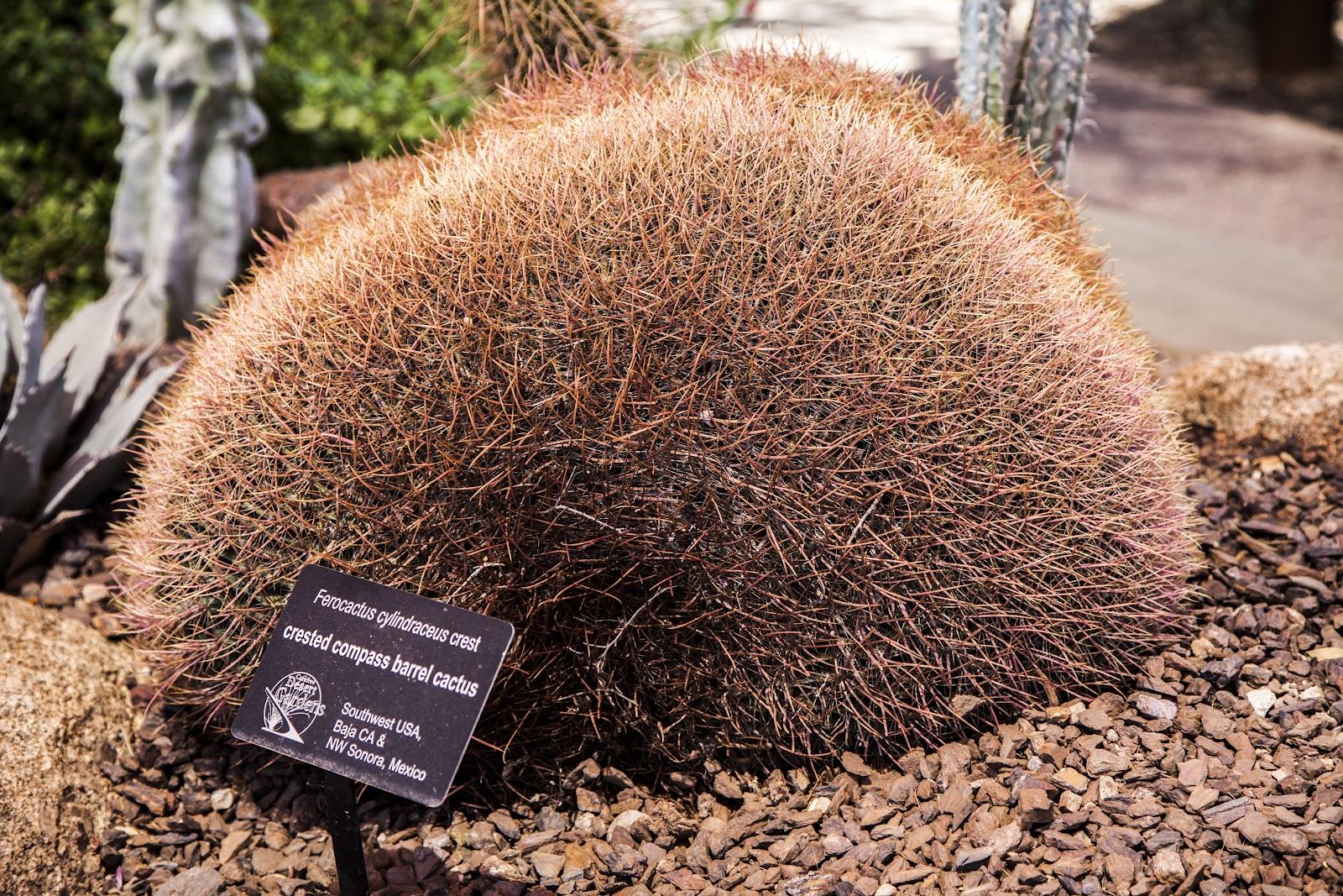 Walking Arizona: Crested Barrel Cactus