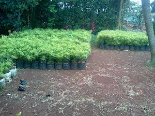 Jual pohon aralea, tanaman perdu