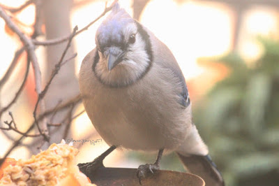 "This is a picture of a blue jay perching on the rim of a flora container in my garden. The bird's beak is open ever so lightly and he appears to be looking into the container.  ""Blue jays are large for songbirds, typically measuring between 9 and 12 inches long, and weighing between 2.5 and 3.5 ounces. Distinguishing characteristics of the blue jay include the pronounced blue crest on their heads, which the blue jay may lower and raise depending on mood, and which will bristle outward when the bird is being aggressive or becomes frightened. Blue jays sport colorful blue plumage on their crest, wings, back, and tail. Their face is typically white, and they have an off-white underbelly. They have a black-collared neck, and the black extends down the sides of their heads - their bill, legs, and eyes are also all black. Their wings and tail have black, sky-blue, and white bars. Male and female blue jays are nearly identical."" (Info from https://forum.americanexpedition.us/blue-jay-facts). They are featured in my three volume book series, ""Words In Our Beak. Info re these birds is in another post on this blog @ https://www.thelastleafgardener.com/2018/10/one-sheet-book-series-info.html"