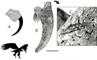 http://sciencythoughts.blogspot.co.uk/2012/03/ritual-use-of-raptor-claws-by.html