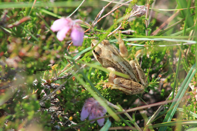 Frog at Ceide Fields