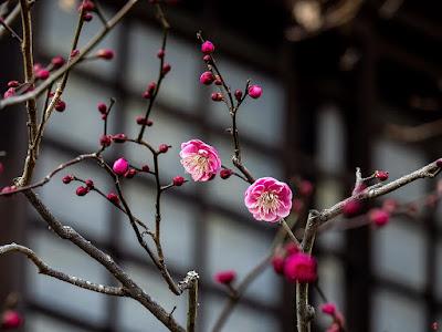 Koubai (red apricot tree) blossoms: Kaizo-ji
