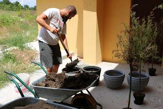 Shoveling manure into the pots