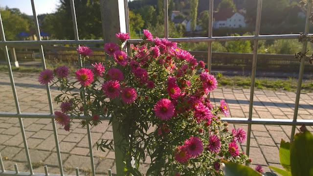 Aster in herbstlichem Pink (c) by Joachim Wenk