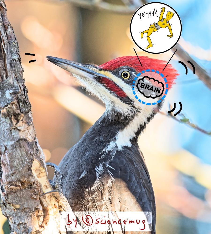 woodpeckers' secret: its brain is a car crash dummy (by @sciencemug)