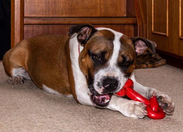 Photo of Ruby with her new chew toy