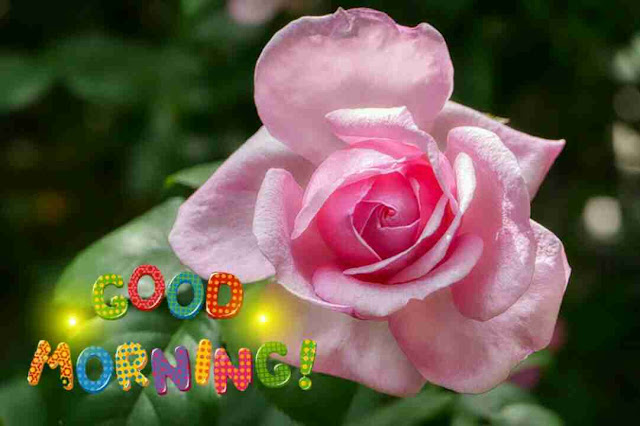 very good morning with pink rose flower