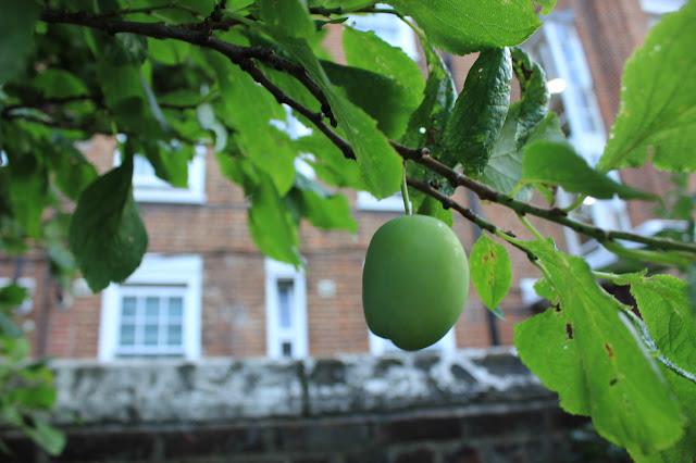 Single green plum on tree