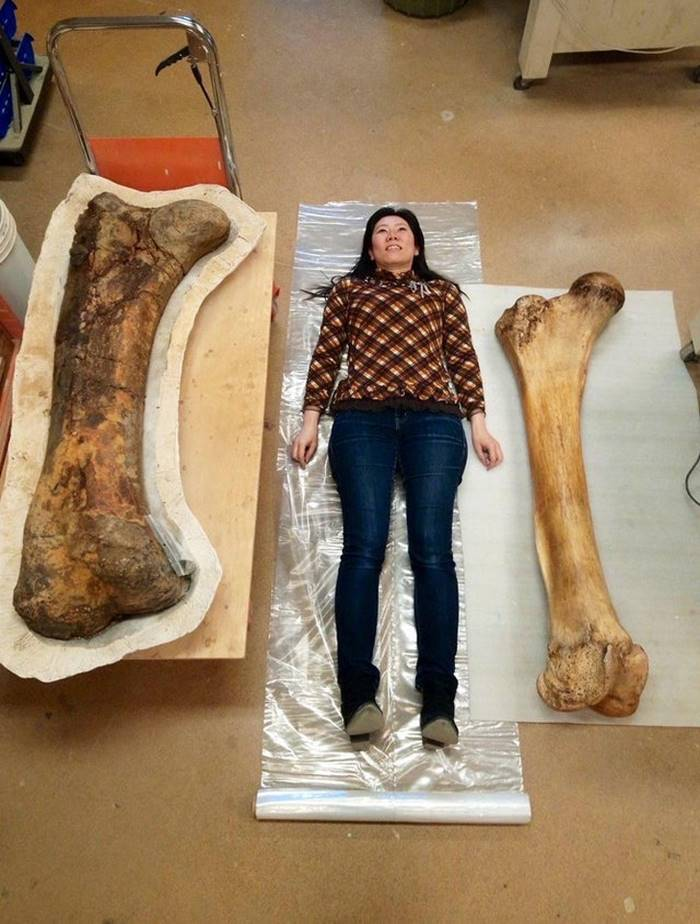 On the left is the triceratops femur, on the right is the elephant, and between them a research fellow