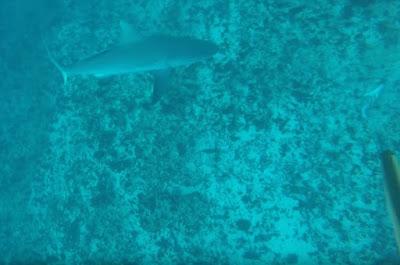 Καρχαρίας επιτίθεται σε δύτη