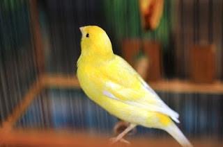 burung kenari lokal, kenari lokal