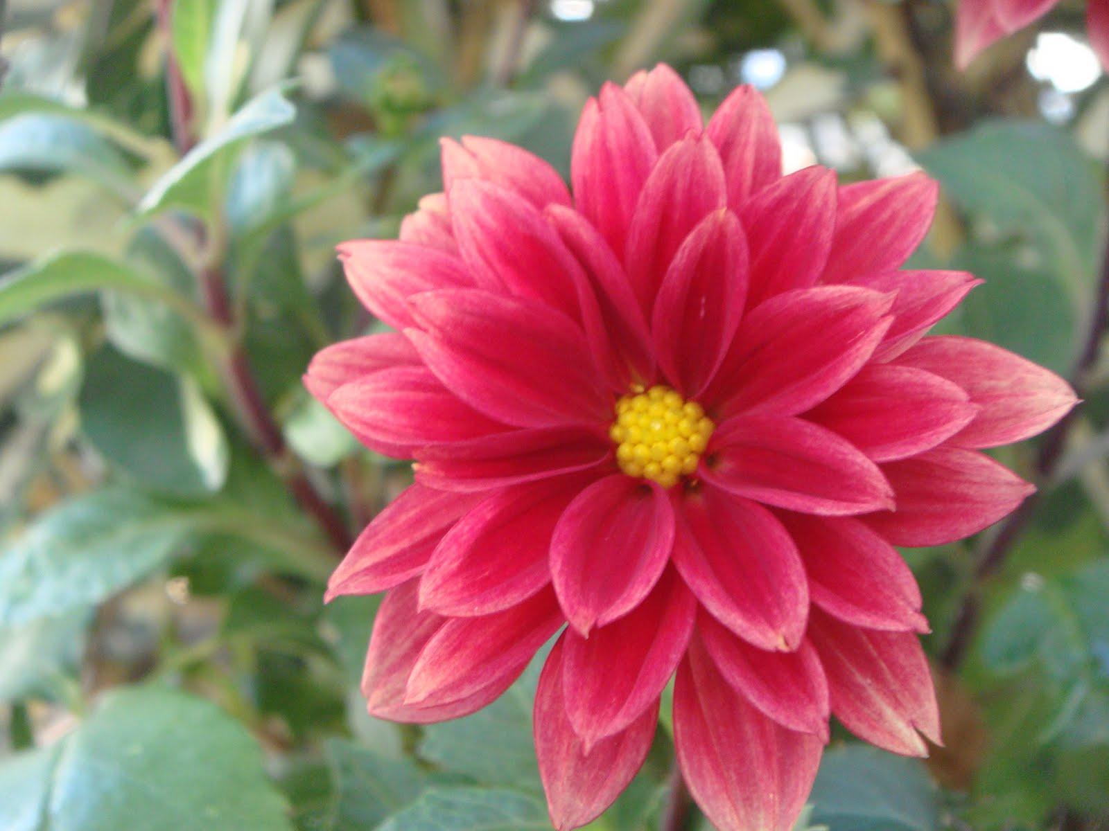 Imgenes de flores y plantas Dalia