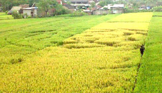crop circle di Bantul