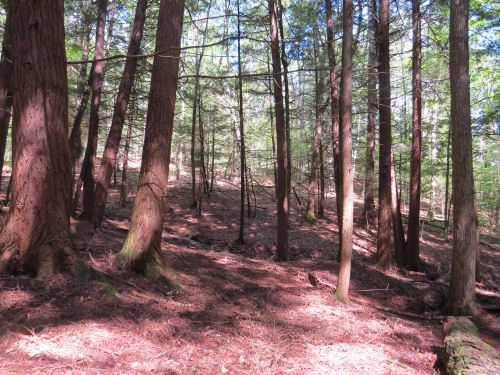 clearing under mature pines