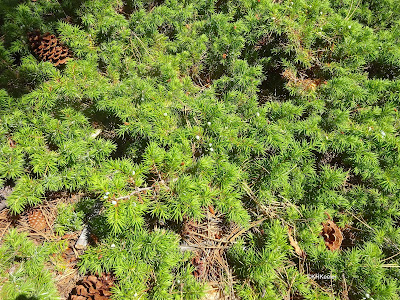 fleshy cones on prostrate juniper