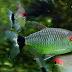 Cara Ternak Ikan Red Eye Tetra