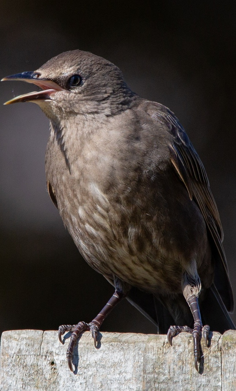Cute juvenile starling.