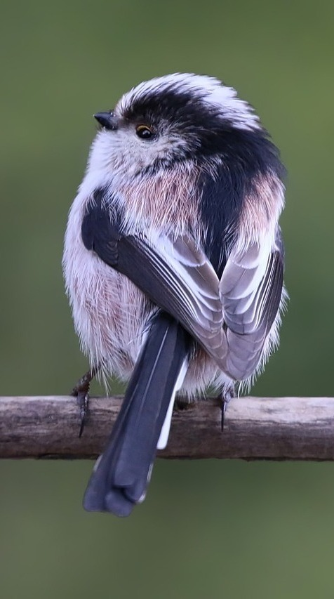 Long tailed tit.