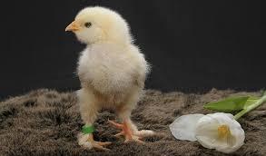 Cara Memilih Anak Ayam Aduan Yang Berkualitas Dengan Mudah