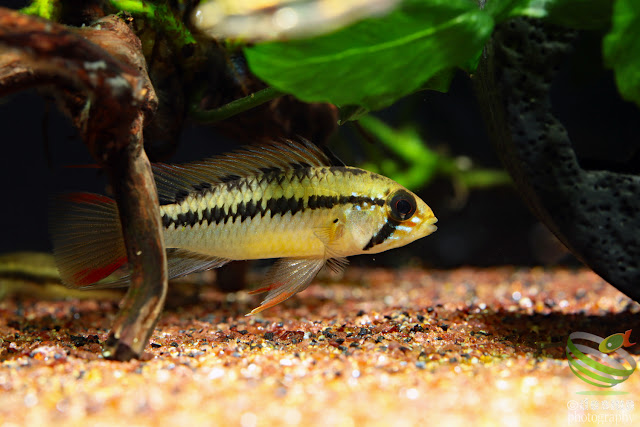 Apistogramma sp. rotflecken / sp. D51?