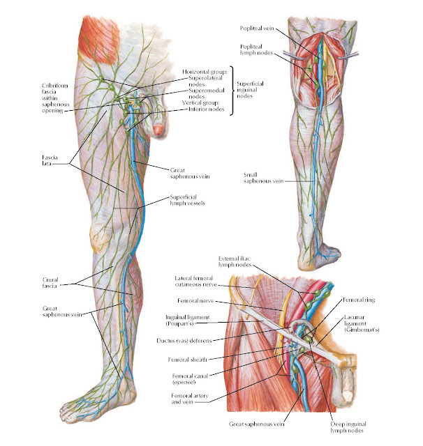 Lymph Vessels and Nodes of Lower Limb Anatomy