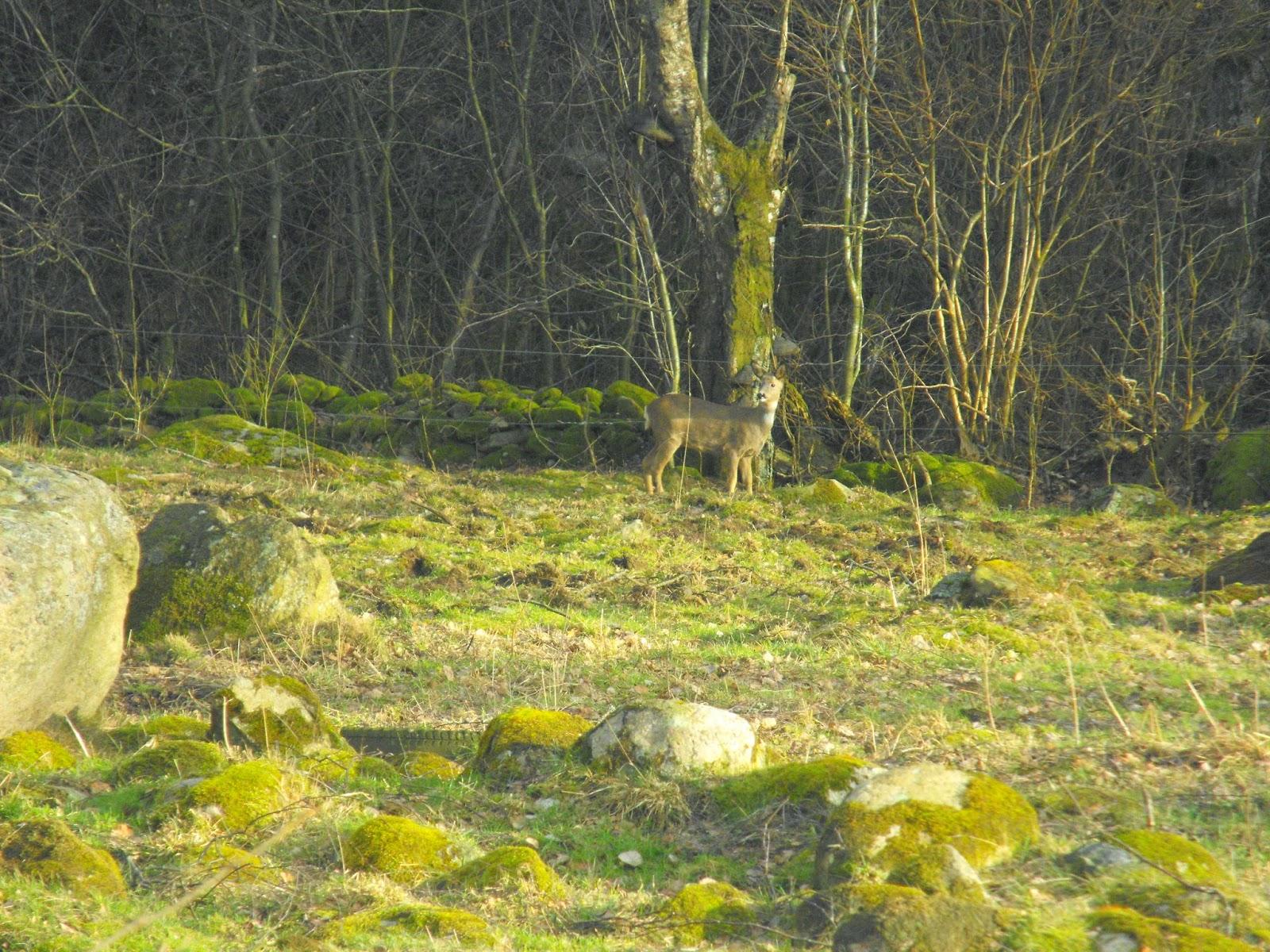 Sösdala, rådjud, Vacker natur, underbart, livet på landet, landsbygden, Hässleholm