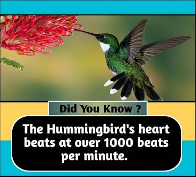 The Hummingbird's heart beats at over 1000 beats per minute.