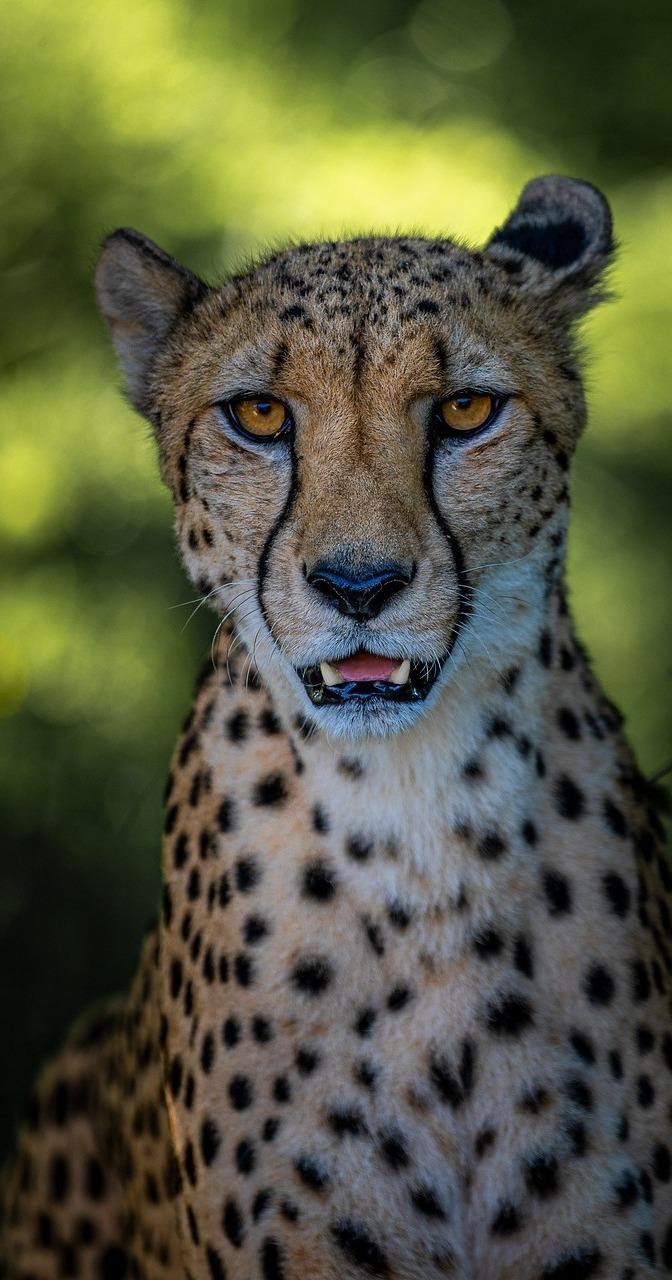 Cheetah up close.