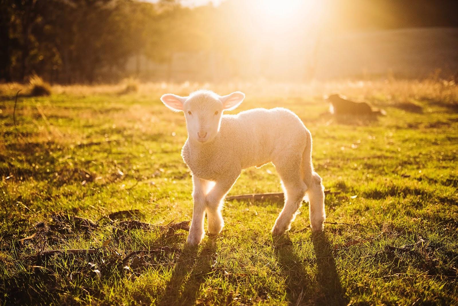 tempo-de-gestacao-animais-vaca-ovelha-cadela-egua-cabra-suínos