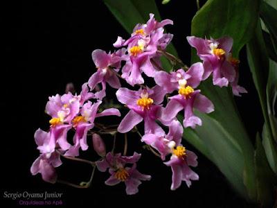 Orquídea Oncidium ornithorhynchum
