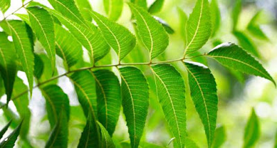 চমৎকাৰী পাতৰ মাজত সোমাই আছে ডায়েবেটিছৰ ঔষধ…Miracle Leaves for Diabetes In Assamese