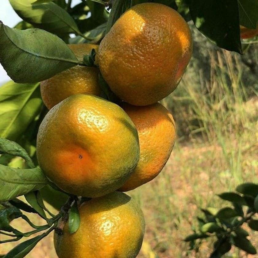 Bibit jeruk keprok siem okulasi Sulawesi Tenggara