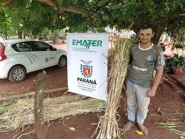Capiaçu, uma alternativa viável para a produção de leite do município de Iretama