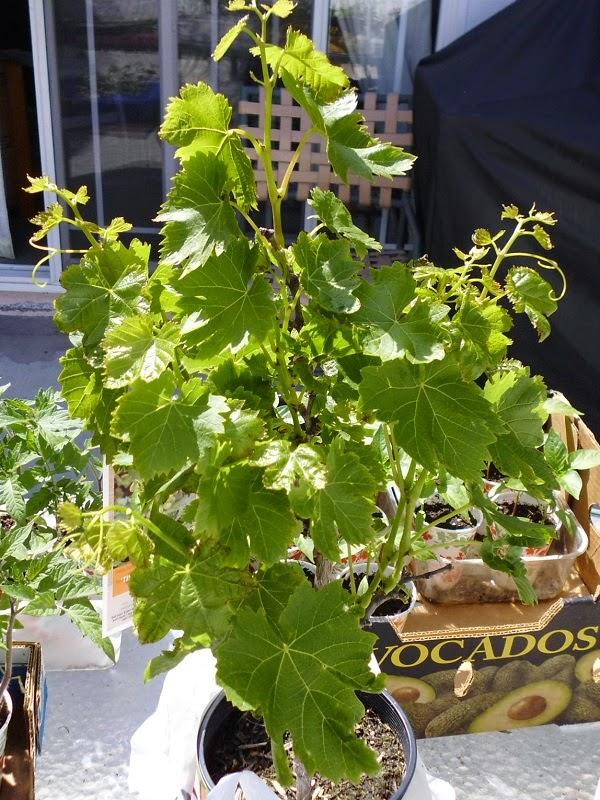Thompson Seedless plant